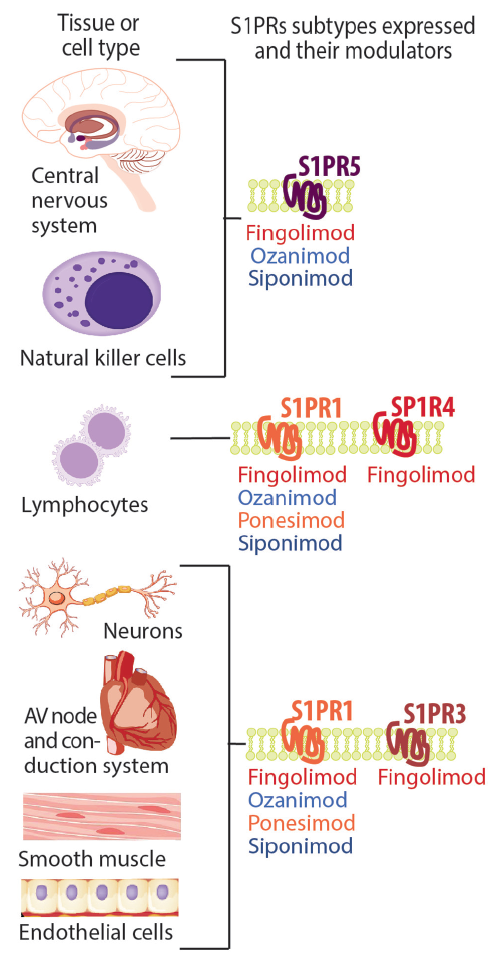 <p>Figure 1. Sphingosine-1-phosphate receptor (S1PR) modulator therapies approved or being studied for treatment of multiple sclerosis (MS) have different S1PR subtype specificities. All these S1P modulators bind to S1P1R on lymphocytes but additional effects in other tissues may be mediated by other S1PR subtypes.</p>
