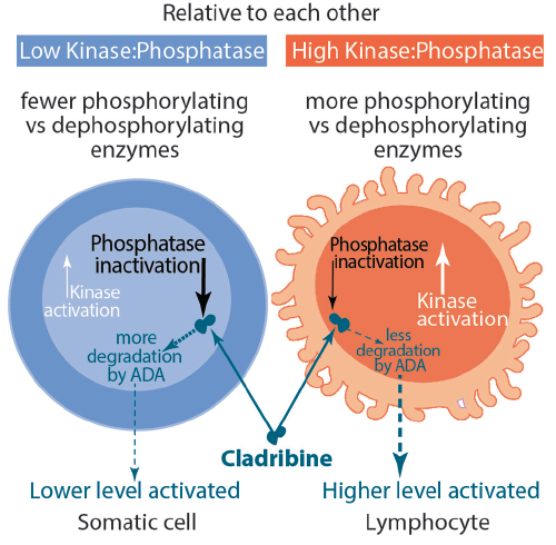 <p>Figure. Cladribine enters somatic cells and lymphocytes. In lymphocytes, however, the ratio of phosphorylation to dephosphorylation of cladribine is higher, resulting in less degradation by adenine deaminase (ADA) to result in higher levels of activated cladribine. Activated cladribine goes on to interfere with DNA synthesis for a toxic effect on lymphocytes.</p>