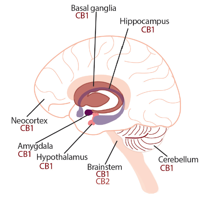 <p>Figure. Both exogenous and endogenous cannabinoids exert central effects through the CB1 receptor, expressed abundantly on presynaptic neurons in the cerebral cortex, hippocampus, hypothalamus, amygdala, basal ganglia, and cerebellum.</p>