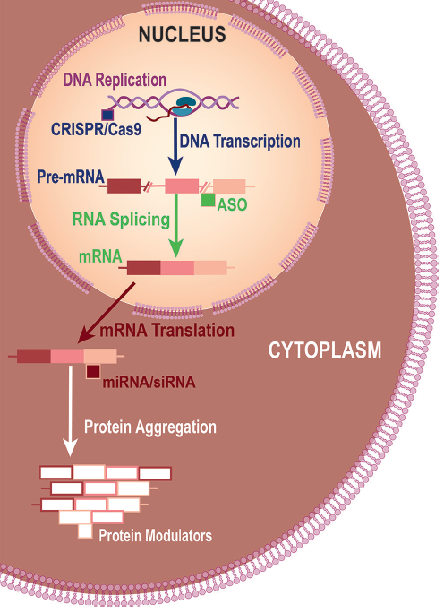 <p>Fig. 1: Strategies for Lowering Mutant Huntingtin Levels. Different approaches for lowering mutant huntingtin (mHTT) include using clustered regularly interspaced short palindromic repeats (CRISPR)‑Cas9 to edit DNA so mHTT is not transcribed, antisense oligonucleotides (ASOs) to reduce production of mRNA during processing (splicing) of pre-mRNA, microscopic or small interfering RNA (miRNA or siRNA) to reduce production of mHTT protein during mRNA translation, and protein modulation to reduce aggregation or increase clearance.</p>