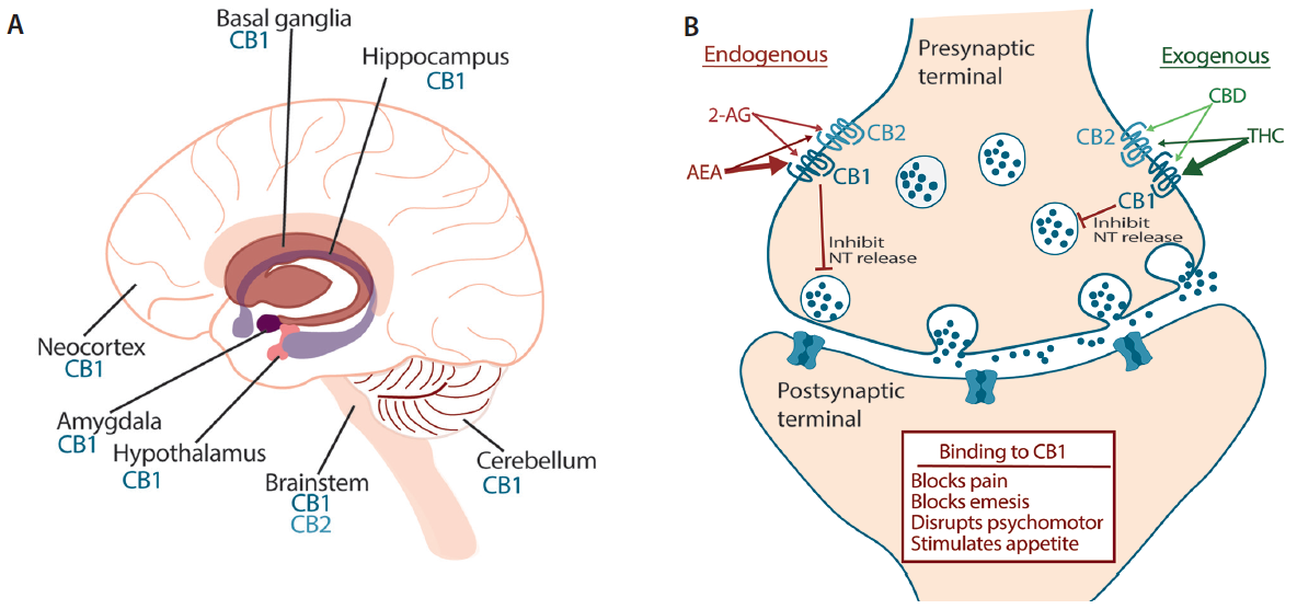 Figure. Both exogenous and endogenous cannabinoids exert central effects through the CB1 receptor, expressed abundantly on presynaptic neurons in the cerebral cortex, hippocampus, hypothalamus, amygdala, basal ganglia, and cerebellum (A). Presynaptic CB1 receptor activation inhibits neurotransmitter release (GABA, glutamate, acetylcholine, noradrenaline) resulting in disinhibition of inhibitory input (B). Abbreviations: 2-AG, 2-arachidonoylglycerol; AEA, anandamide; CB1, cannabinoid receptor 1; CB2, cannabinoid receptor 2; CBD, cannabidiol; THC, delta<sup>9</sup>-tetrahydrocannabinol.