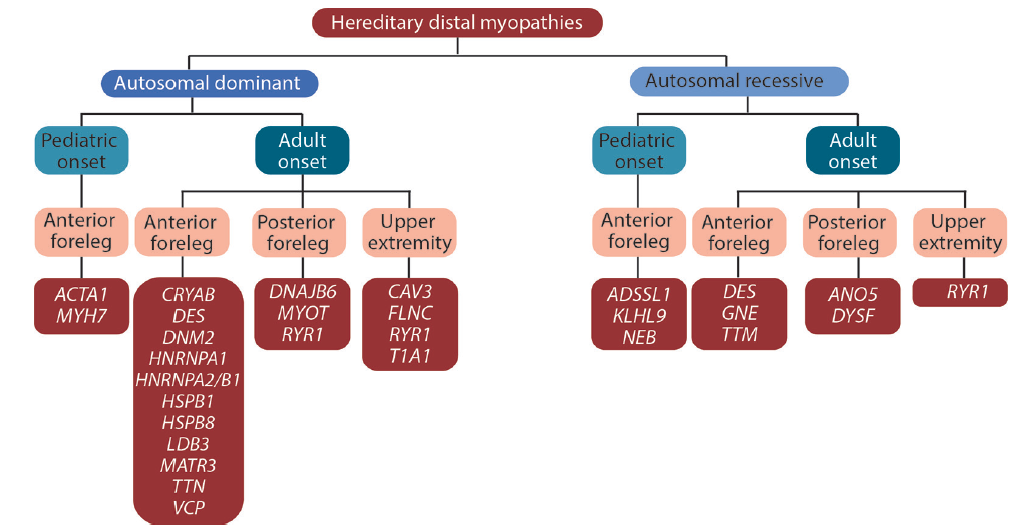 Figure 1. Distal myopathy gene disorders based on inheritance patterns, age of onset, and presenting muscle involvement.