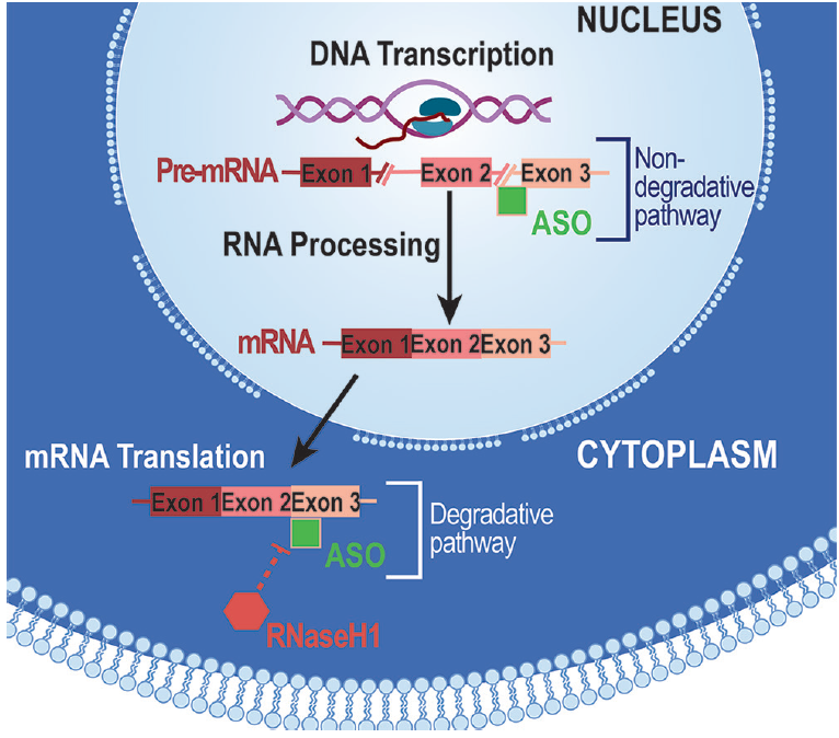 Figure. Antisense oligonucleotides (ASOs) affect protein expression by binding to pre-mRNA or mRNA to modulate processing of pre-mRNA to mRNA or translation of mRNA to protein.