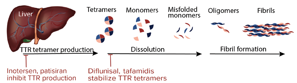 <p>Figure. Transthyretin (TTR) is synthesized in the liver where it almost immediately forms a tetramer. In familial amyloidopathies (FAPs), mutant tetramers dissolve to create monomers that then misfold and reaggregate first as oligomers and then as fibrils. Treatments targt reduction of TTR producion in the liver and stabilization of tetramers so that dissolution does not occur.</p>