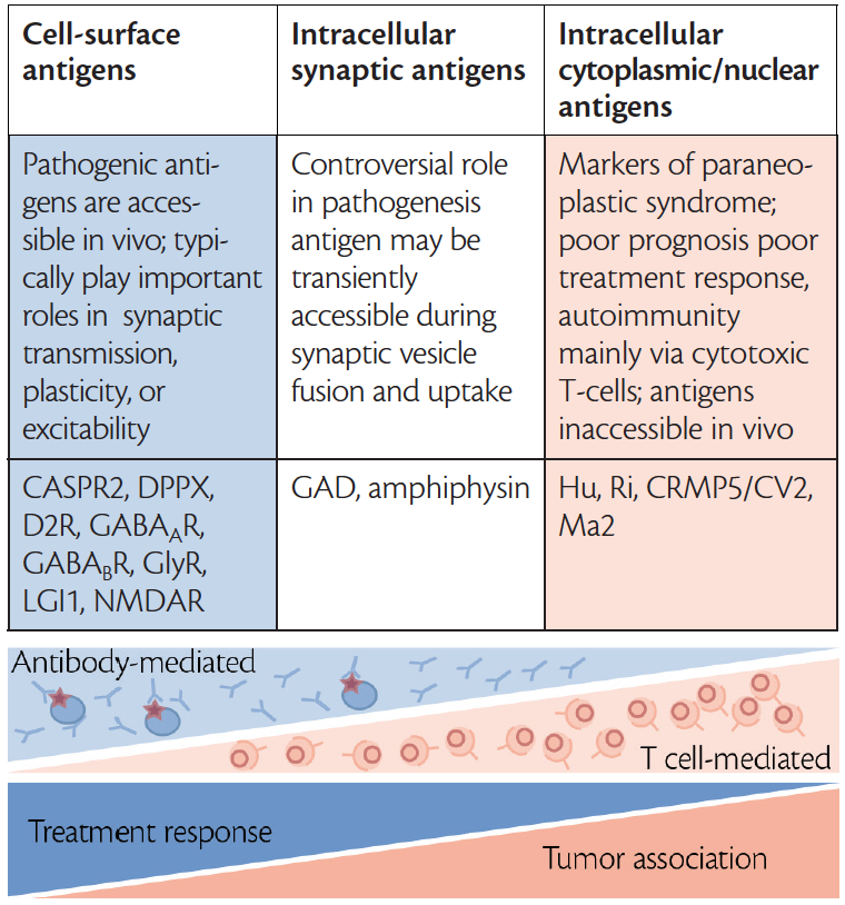 <p>Figure. Categories of autoantibodies to neuronal antibodies, pathogenic roles, examples, treatment responses and tumor associations. Adapted with permission from Balint B, Vincent A, Meinck HM, Irani SR, Bhatia KP. Movement disorders with neuronal antibodies: syndromic approach, genetic parallels and pathophysiology. Reproduced with permission from <i>Brain</i>. 2018;141(1):13-36.</p>