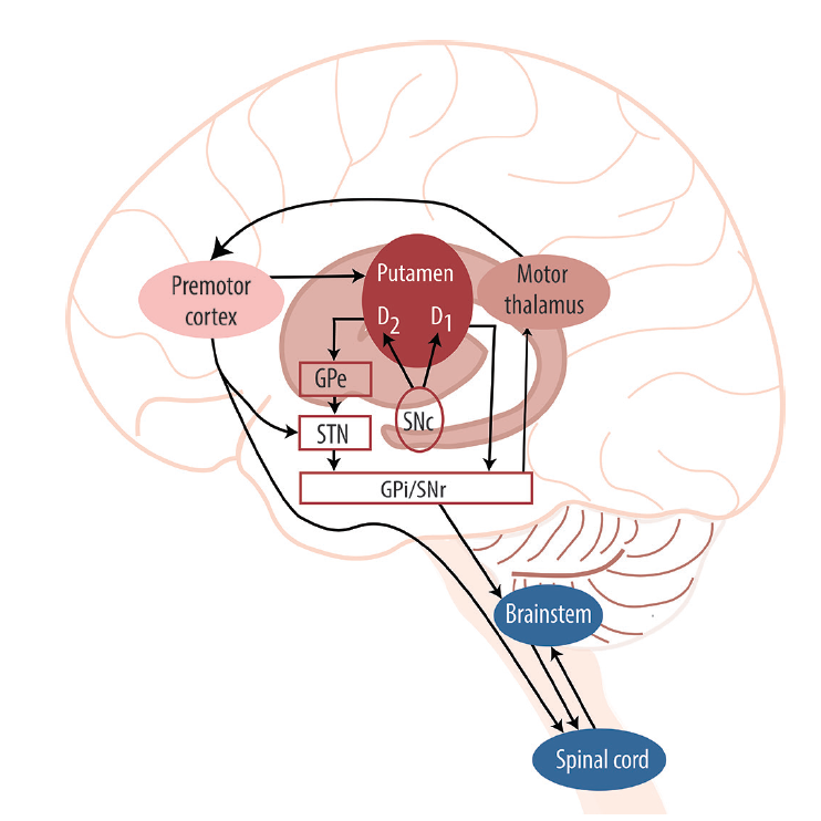 <p>Figure 2. Structural representation of basal ganglia pathways including inputs and outputs. Abbreviations: D1, type 1 dopaminergic receptors; D2, type 2 dopaminergic receptors; GPe, globus pallidus externus; GPi, globus pallidus internus; SNc; substantia nigra pars compacta; SNr, substantia nigra pars reticularis; STN, subthalamic nucleus.</p>